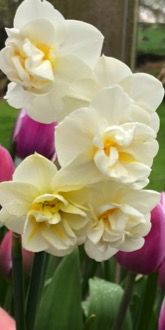 Cheerfulness Narcissi