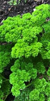 Petroselinum crispum - Curly Parsley