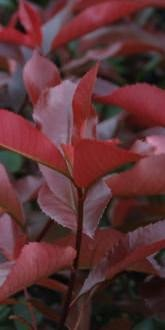 Red Robin - Photinia