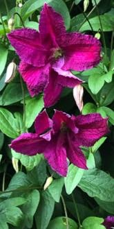 Polish Spirit Clematis