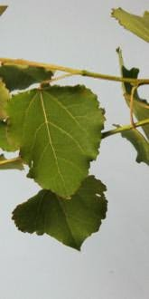 Aspen leaves - close up