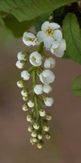 Bird Cherry flowers in April