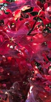 Red Oak foliage in Autumn