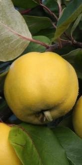 Serbian Gold Quince