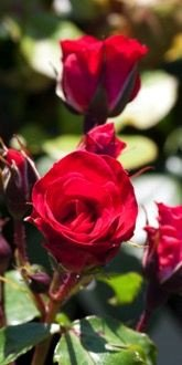 Rosa Red Finesse