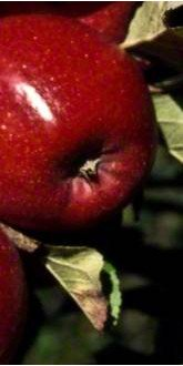 Malus domestica Red Windsor apple close up