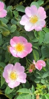 Dog Rose Flowers
