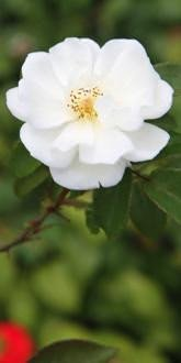 Moonlight Shrub Rose