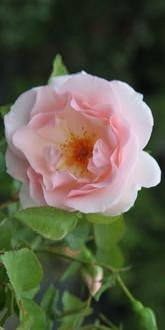 Rosa A Whiter Shade of Pale