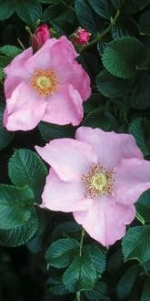 Rosa Fru Dagmar Hastrup - Shrub Rose
