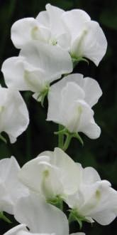 Sweet pea, Royal Wedding