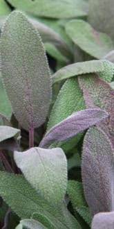 Salvia officinalis Purpurea leaves