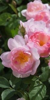 Scarborough Fair Roses