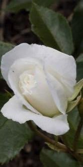 Snow Princess Floribunda Rose