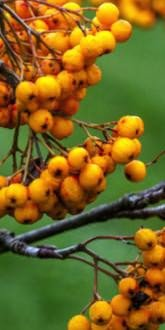 Rowan - Sorbus Sunshine Berries