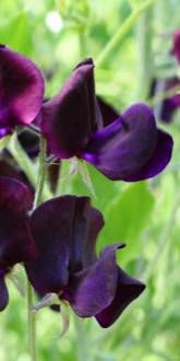 Sweet Pea - Almost Black