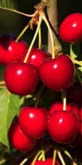 Ripe Sweetheart Cherries on the tree