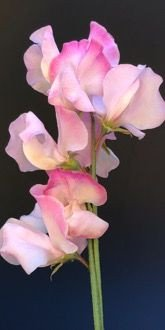 Anniversary Sweet Peas in July