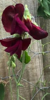 Sweetpea - Black Knight
