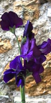 Sweet Pea - Blue Velvet Flowers