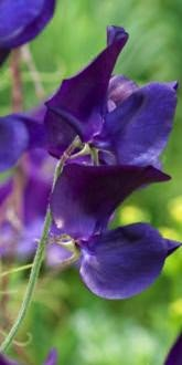 Sweet Pea - Bouquet Navy - Flowers
