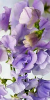 Sweet Pea - Bristol - Flowers