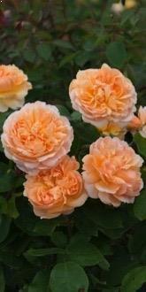 David Austin Roses for Sale Online | Ashridge Nurseries