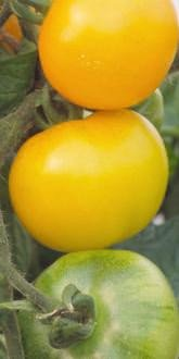 Golden Sunrise TomatoES