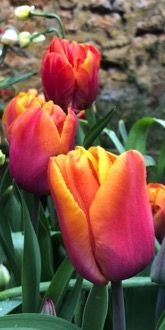 Tulip - Orange Brilliant