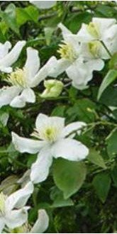 Clematis - White Anemone