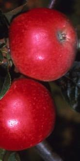 Malus Worcester Pearmain apples close up
