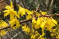 Forsythia in April