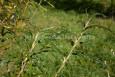 Young common osier - salix viminalis