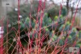 Midwinter Fire Dogwood in Winter