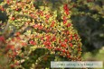 Rockspray Cotoneaster in September