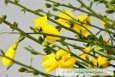 Broom Flowers close up