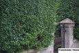 Green Privet Hedging
