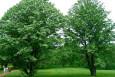 Tilia euchlora - Linden - A good avenue tree