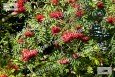 Cardinal Royal Rowan Berries