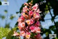 Red Horse Chestnut Blossom
