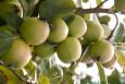 Apple Trees - Reverend W Wilks