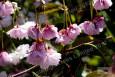 Shirofugen blossom in spring