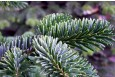 Abies nordmanniana - close up of foliage