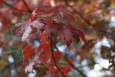 Acer freemanii Celebration
