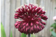 Red Mohican Allium in July