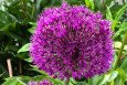Purple Rain Allium