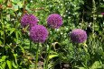 Allium giganteum flowers and foliage