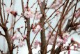 Pink Autumn/Winter Flowering Cherry
