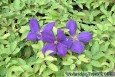 Jackmans Clematis flower and leaves