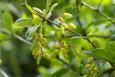 Unripe Cornus mas berries